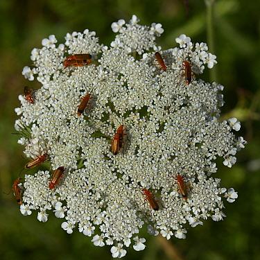 Common red soldier beetles (Rhagonicha fulva) on Wild carrot (Daucus carota) Vendee, France, June