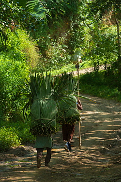 Konyak Naga women carrying palm leaves to be used for roofing. Mon district. Nagaland,  North East India, October 2014.