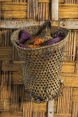 Chicken nesting basket. Chang Naga headhunting Tribe. Tuensang district. Nagaland, North East India, October 2014.
