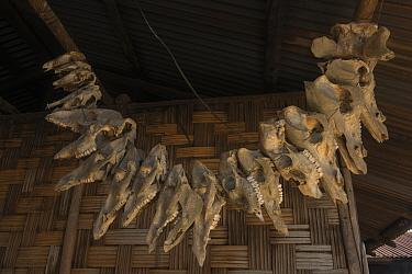 Ao Naga house with animal skulls. Ao Naga Tribe. Mokokchung district. Nagaland, North East India, October 2014.