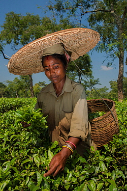 Tea picker, collecting  Tea leaves  (Camelia sinensis) wearing large straw hat, Assam, North East India, October 2014.