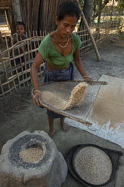 Mising woman winnowing rice. Majuli Island, Brahmaputra River, Assam, North East India, October 2014.
