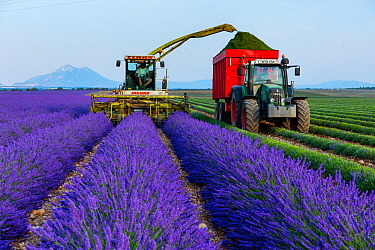 Machine harvesting Lavender (Lavendula angustifolia) from fields, Valensole Plateau, Alpes Haute Provence, France, July 2015.
