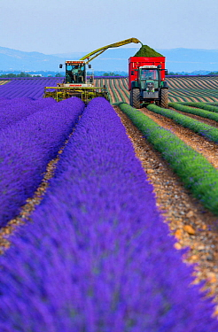 Harvesting Lavender (Lavendula angustifolia) in field,  Valensole Plateau, Alpes Haute Provence, France, July 2015.