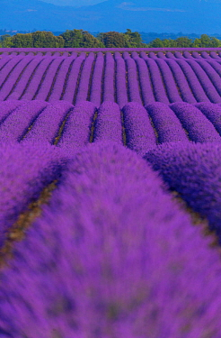 Lavender (Lavendula angustifolia) fields in flower, Valensole Plateau, Alpes Haute Provence, France, July 2015.