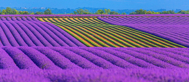 Lavender (Lavendula angustifolia) fields with one area harvested, Valensole Plateau, Alpes Haute Provence, France, July 2015.