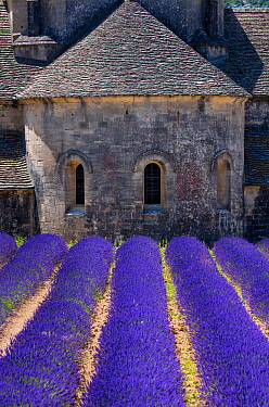Lavender (Lavendula angustifolia) fields in front of Senanque Abbey, Gordes Village, Provence, France, July 2015.