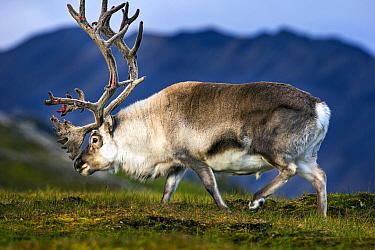 Svalbard reindeer (Rangifer tarandus platyrhynchus) Svalbard, Norway, August.