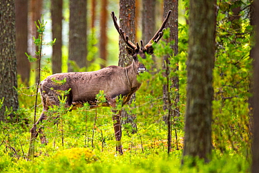 Finnish forest reindeer, (Rangifer tarandus fennicus) in forest,  Viiksimo, Kuhmo region, Finland. July. This rare species became nearly extinct in Finland, but are returning to Finland from Russia.