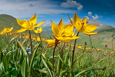 Yellow tulip (Tulipa australis) in flower, above Piano Grande, Sibillini, Appennines, Umbria, Italy, May 2011