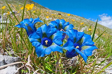 Appennine Trumpet Gentian (Gentiana dinarica) in flower, on roadside below Gran Sasso, Appennines, Abruzzo, Italy, May