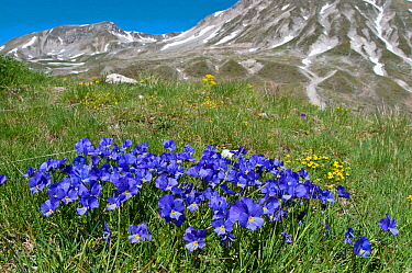 Eugenia's Violet (Viola eugeniaea) in flower, blue form, Campo Imperatore, Gran Sasso, Appennines, Abruzzo, Italy, May 2010