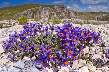 Alpine Toadflax (Linaria alpina) in flower, Campo Imperatore, Gran Sasso, Appennines, Abruzzo, Italy, May 2011