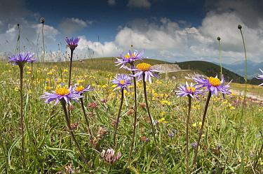 Alpine aster (Aster alpina) Gran Sasso, Appennines, Abruzzo, Italy, June 2010