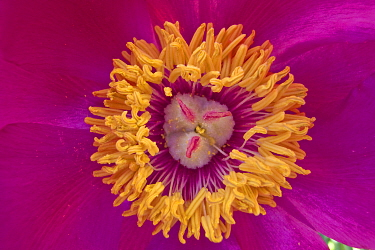 Common peony (Paeonia officinalis) close up of stamens and stigma,  Monti Sibillini National Park, Italy, May.