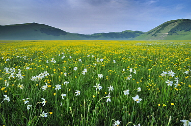 Meadow buttercup (Ranunculus acris) and Poet's Daffodil (Narcissus poeticus) on the Piano Grande, Monti Sibillini National Park, Italy, May, 2009.