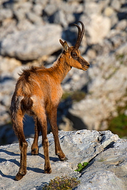 Apennine chamois (Rupicapra pyrenaica ornata) Central Apennines rewilding area, National Park of Abruzzo, Lazio and Molise, Italy, June.