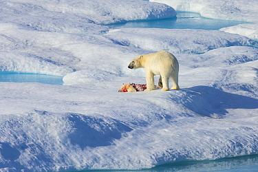 Male Polar bear (Ursus maritimus) standing over carcass of first year Polar bear cub it has just killed, Scott Inlet, Baffin Island, Canadian Arctic, August. Vulnerable species.