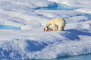 Male Polar bear (Ursus maritimus) feeding on a first year Polar bear cub it has just killed, Scott Inlet, Baffin Island, Canadian Arctic, August. Vulnerable species.