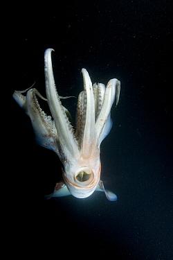 Humboldt squid (Dosidicus gigas) at night off Loreto, Sea of Cortez, Baja California, Mexico, East Pacific Ocean.
