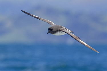 Cape petrel (Daption capense) gliding, with sea and Kaikoura coastline in the background, Off Kaikoura, Canterbury, New Zealand, November.