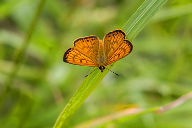 Male Common copper (Lycaena salustius) resting with wings open, showing the upperside patterning, Cape Kidnappers, Hawkes Bay, New Zealand, November.