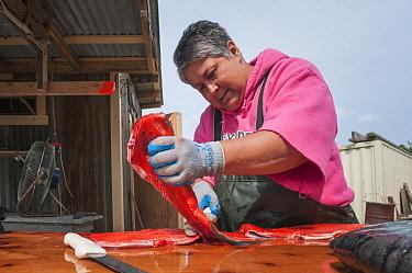 Native Alaskan preparing Sockeye salmon (Oncorhynchus nerka) for traditional smoking.  Naknek, Bristol Bay, Alaska, USA, June. Model released.