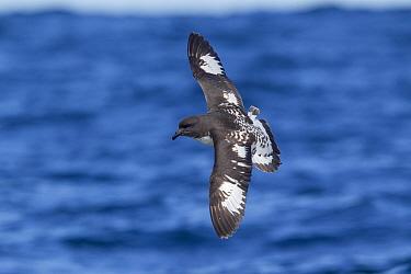 Cape petrel (Daption capense) flying over sea, off Kaikoura, Canterbury, New Zealand, November.