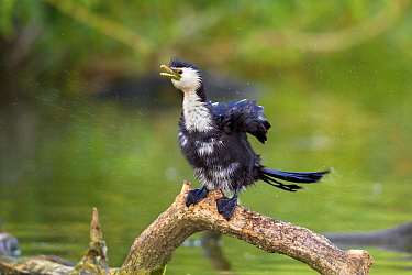 Little pied cormorant (Phalacrocorax melanoleucos) shaking water from its plumage, sitting on a branch close to the surface of the water, Tamatea, Hawkes Bay, New Zealand, November.