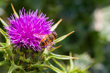 Male Common drone fly (Eristalis tenax) on a Variegated / Milk thistle (Silybum marianum) flower, Cape Kidnappers, Hawkes Bay, New Zealand, November.