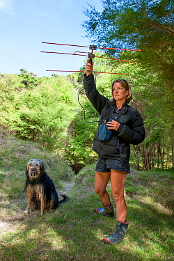 Researcher using radio-telemetry equipment to track a Northern brown kiwi (Apteryx mantelli) fitted with a radio transmitter Beside her stands a trained kiwi-tracking dog, Cape Kidnappers, Hawkes Bay,...