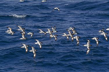 Cape petrels (Daption capense) flying over sea, Elephant Island, South Shetland Islands, South Atlantic, January.