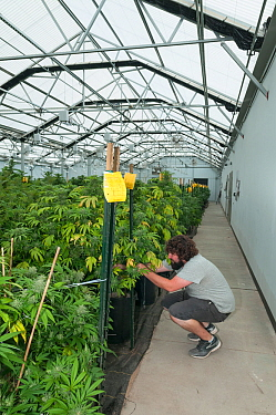 Man tending Cannabis plants in organic Marijuana farm, Pueblo, Colorado, USA, June 2015. Marijuana has legalized in the state of Colorado, and this farm produces Marijuana for medical and retail purpo...