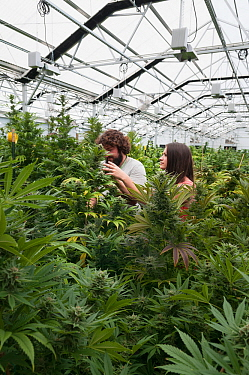Man and woman with Cannabis plant in organic Marijuana farm, Pueblo, Colorado, USA, June 2015. . Marijuana has legalized in the state of Colorado, and this farm produces Marijuana for medical and reta...