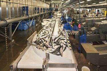 Leader Creek Fisheries cannery preparing fresh Sockeye salmon (Oncorhynchus nerka) fillets for export worldwide.  Naknek, Bristol Bay, Alaska. July 2015.
