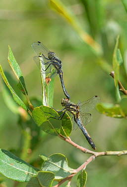Black darter dragonfly (Sympetrum danae) pair mating. Surrey, England, UK, August.