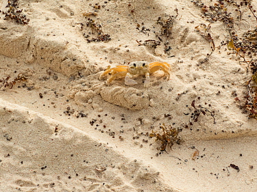 Ghost crab (Ocypode quadratus) on beach, Barbados.