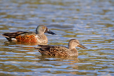 Female Australasian shoveler (Anas rhynchotis) on pond with a male behind, Anderson Park, Tamatea, Napier, Hawkes Bay, New Zealand, September.
