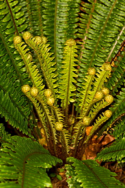 Crown fern (Blechnum discolor) with new unfurling fronds developing, Ulva Island, Stewart Island, New Zealand, November.