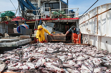 Fishermen sorting Haddock (Melanogrammus aeglefinus), Pollock (Pollachius) and Dogfish (Squalidae) from net, Georges Bank off Massachusetts, New England, USA, May 2015 Model released.