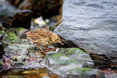 South Georgia pipit (Anthus antarcticus) feeding on small crustaceans along the shoreline, during moult, Tern Island, just off Salisbury Plain, South Georgia, South Atlantic, January.