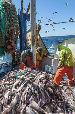 Fishermen sorting Haddock (Melanogrammus aeglefinus), Pollock (Pollachius) and Dogfish (Squalidae) from net, Georges Bank off Massachusetts, New England, USA, May 2015. Model released.