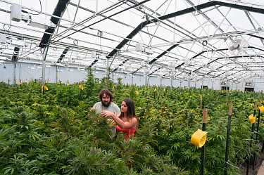 Man and woman with Cannabis plant in organic Marijuana farm, Pueblo, Colorado, USA, June 2015. . Marijuana has legalized in the state of Colorado, and this farm produces Marijuana for medical and reta...