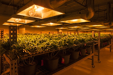 Cannabis plants growing under artificial light,  in organic Marijuana farm, Pueblo, Colorado, USA, June 2015. . Marijuana has legalized in the state of Colorado, and this farm produces Marijuana for m...