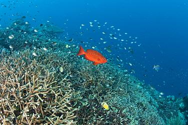Crescent-tail bigeye (Priacanthus hamrur) Crystal Bay, Nusa Penida, Bali Island, Indonesia, Pacific Ocean.