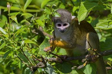 Bolivian / Black headed squirrel monkey (Saimiri boliviensis) captive, occurs in Bolivia, Brazil and Peru.