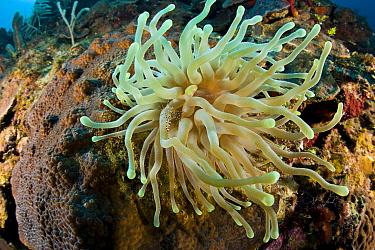 Giant Caribbean sea anemone (Condylactis gigantea) with Spotted cleaner shrimp (Periclimenes yucatanicus) Santa Lucia, Camaguey, Cuba. Caribbean Sea, Atlantic Ocean