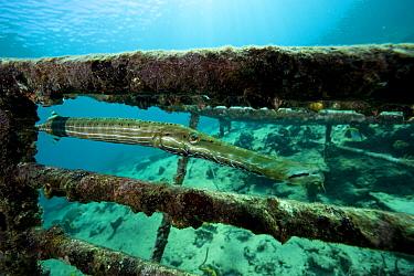 Trumpetfish (Aulostomus maculatus) on wreck, Santa Lucia, Camaguey, Cuba, Caribbean Sea, Atlantic Ocean