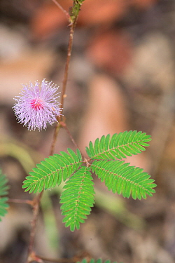 Sensitive plant (Mimosa pudica) with leaves open. Sabah, Borneo. Sequence 1 of 2