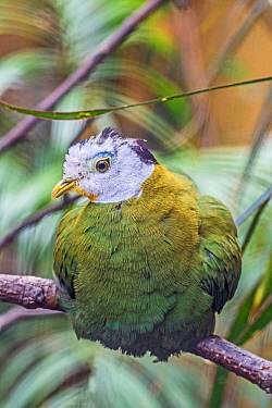 Male Black naped fruit dove (Ptilinopus melanospila) perched on branch, captive, occurs in South East Asia.